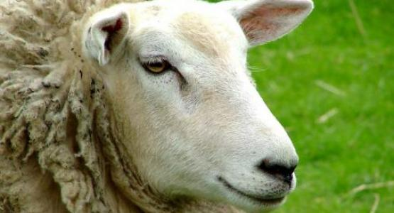 Sheep! by Jannes Pockele from Flickr
